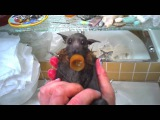 Cute baby flying-fox (bat) has a bath
