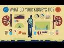 How do your kidneys work Emma Bryce