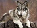 Би 2 - Волки