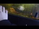 Serrasalmus rhombeus- черная пиранья или ромбовидная