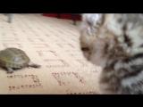 Кот убийца рвет черепаху на части ЖЕСТЬ