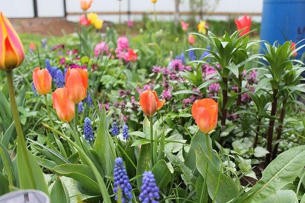 Уход за луковичными цветами весной