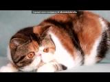 Кошки питомника AMFION под музыку китайская классическая музыка - осень. Picrolla