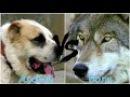 Алабай против Волка
