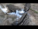 African Civet Cats' Feeding Frenzy Африканская циветта