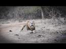 Лев, животное-мудак- секс 40 раз в день, многоженство, драки, тунеядство -- Все как у зверей