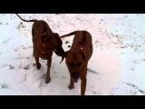Родезийские риджбеки Эмили и Эльза. Первый снег!