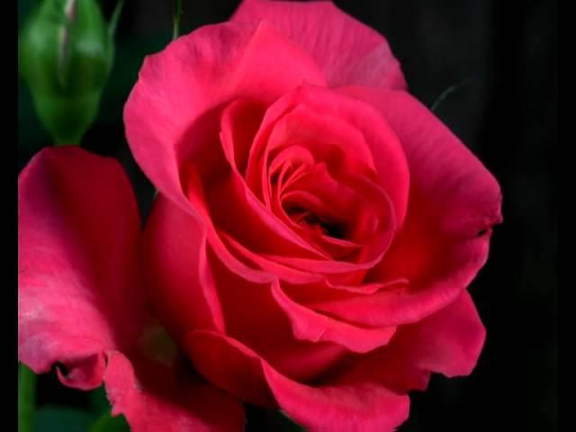 Как распускается роза. Безумно красиво