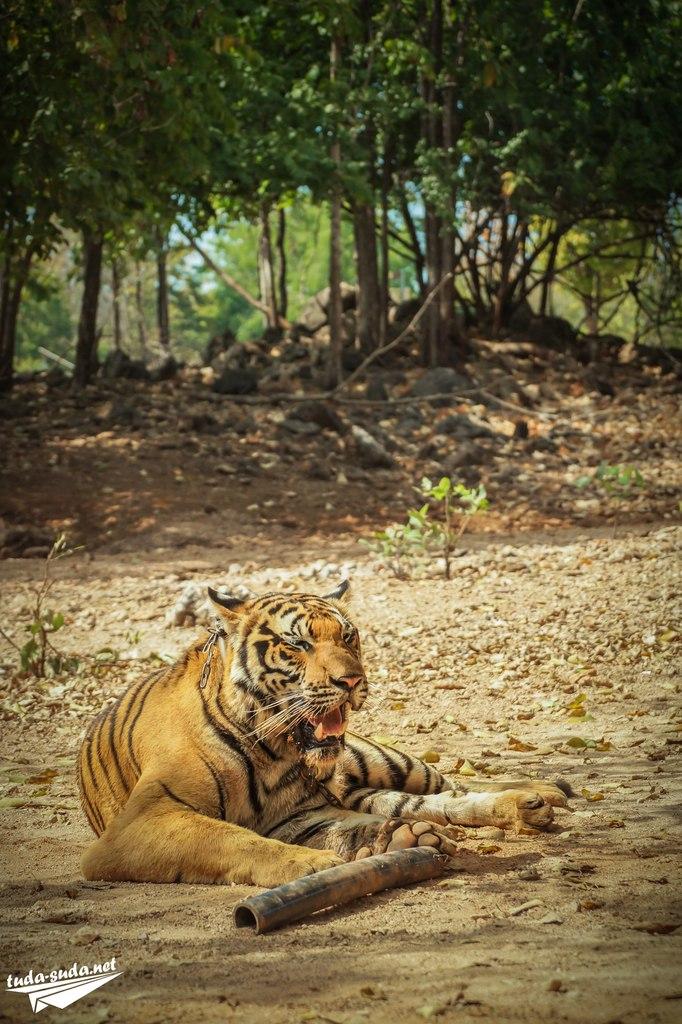 храм тигров Таиланд