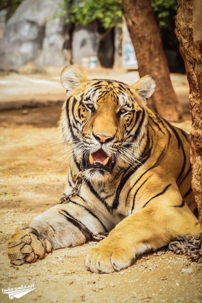 экскурсия к тиграм Таиланд
