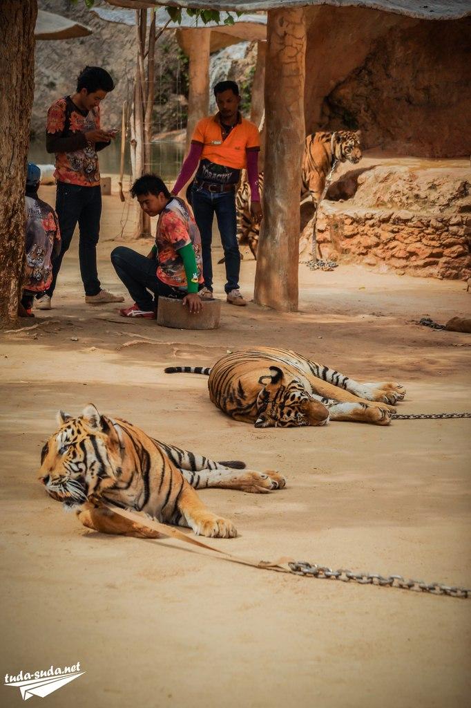 Тигры фото