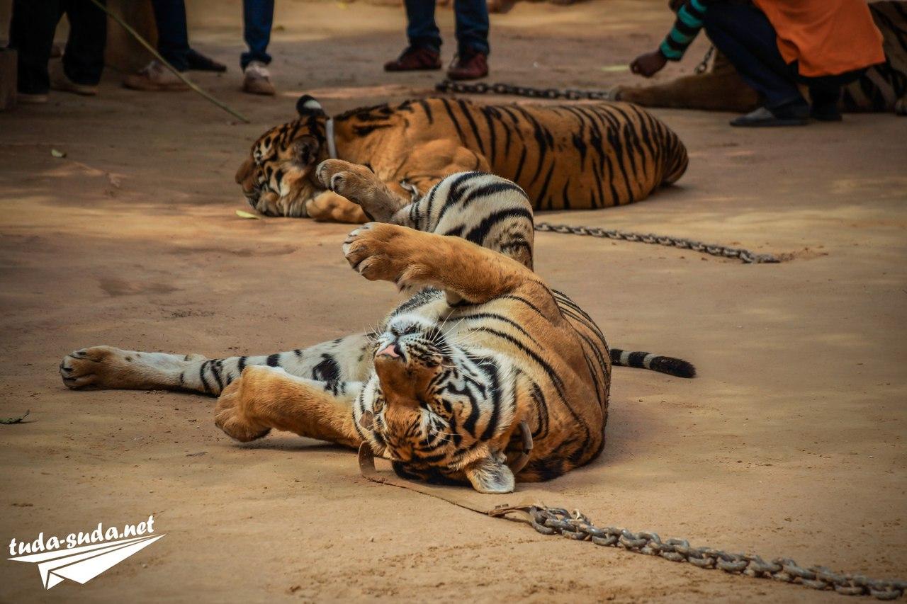 Тигры Канчанабури фото