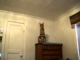 Ashera cat jumping from the cabinet