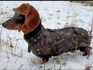 Такса, все породы собак, 101 dogs. Введение в собаковедение.