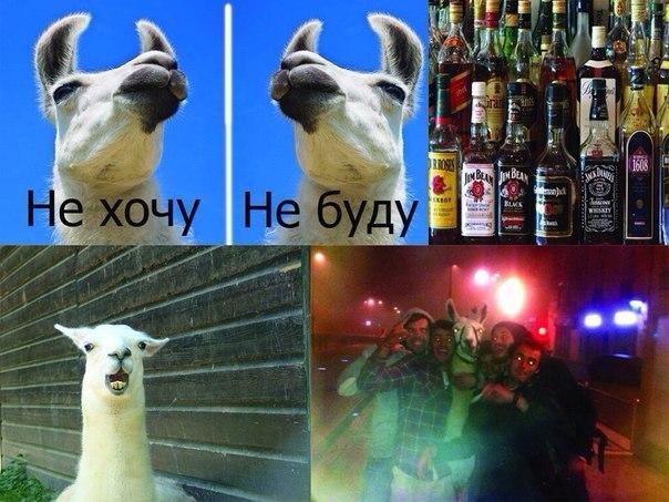 канікули лами в Польщі :)