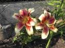 Лилии на даче фото