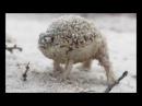 Африканская Дождевая Лягушка Показывает Защитн. Функ.