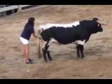 Девушка знает, как усмирить быка