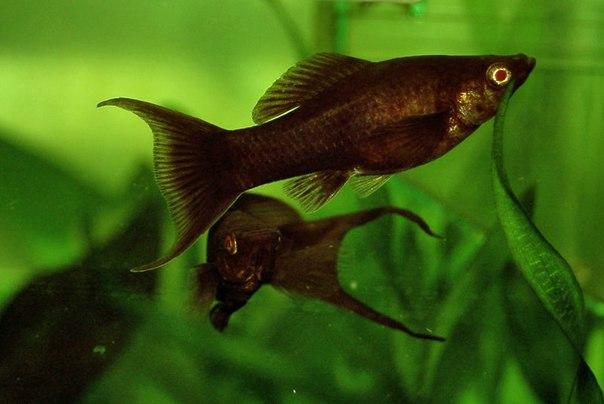 У рыбки молли появилось белое пятно около анального отверстия