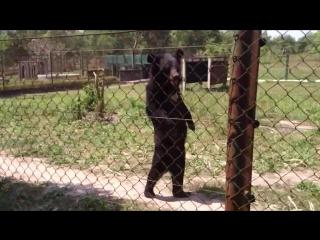 Гималайский медведь, который умеет ходить как человек
