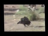 Обезьяны сбегают от охотников на кабане. Неуловимые мстители :-D