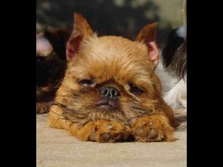 Бельгийский (Брюссельский) Гриффон, все породы собак, 101 dogs. Введение в собаковед ...