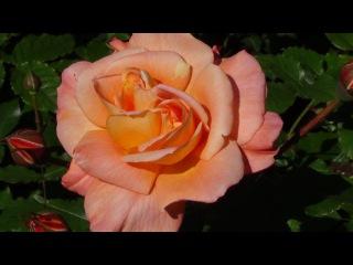 ♫  Нежность цвета и звуков...  Франк Дюваль...