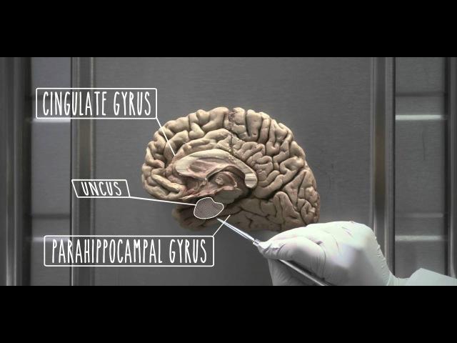 Hypothalamus and Limbic System - UBC Neuroanatomy - Season 1 - Ep 4