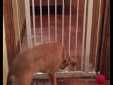 Железная ограда этому псу не помеха!