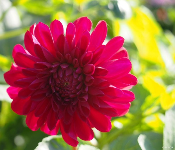 Царский цветок георгин