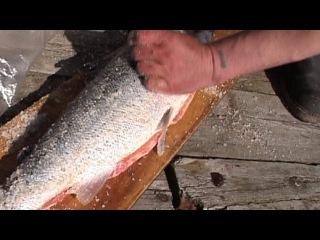 Так поморы солят сёмгу