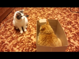 Жестокая битва за коробку / Коты дерутся за коробку / 2 кота воюют за картонную коробку