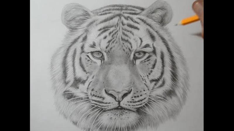 Как нарисовать тигра Кошара 3д