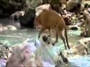 Чудесное спасение медвежонка от пантеры. Мир животных. Дикая природа