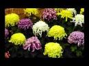 Хризантема корейская крупноцветковая и мелкоцветковая Никитский Ботанический Сад Бал Хризантем