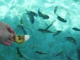Таиланд. Кормление рыб на Пхи-Пхи.