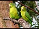 Синекрылый воробьиный попугайчик / Blue-winged Parrotlet / Forpus xanthopterygius