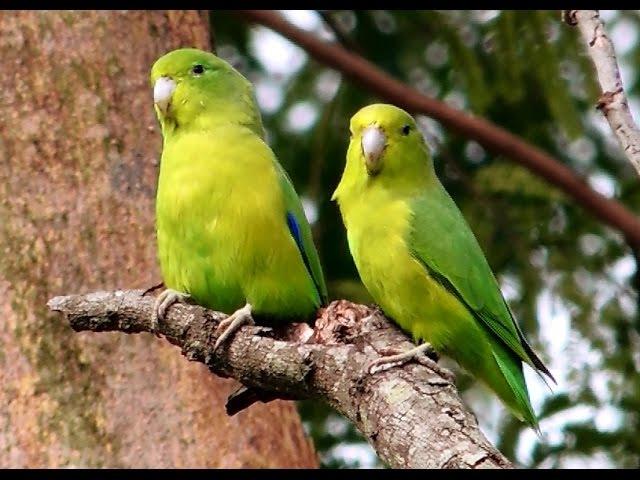 Синекрылый воробьиный попугайчик / Blue-winged Parrotlet / Forpus xanthopterygius » Freewka.com - Смотреть онлайн в хорощем качестве