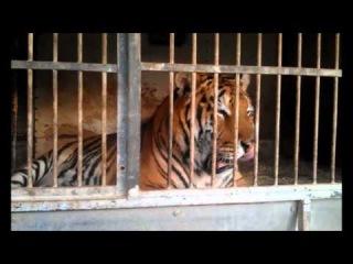 Питбуль и тигр в одной клетке