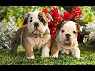 Самые дорогие породы собак. Топ-20