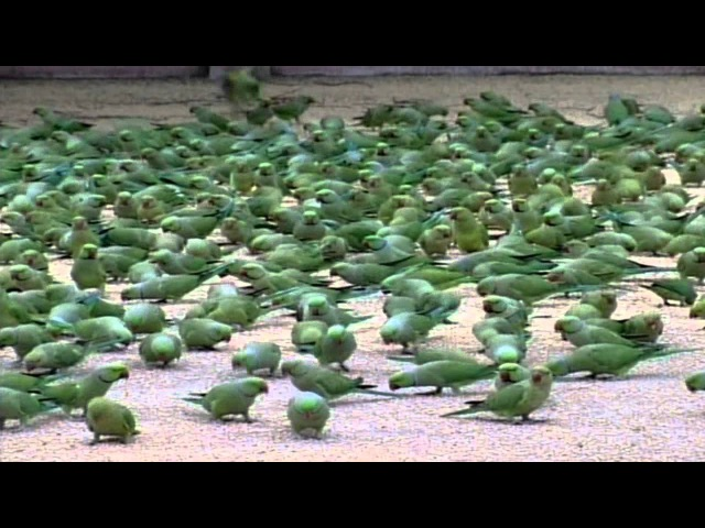 Parrots in India
