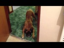 Maggie the Boxer dog not wanting a bath funny!