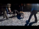 Собачьи бои кане корсо vs хз