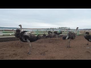 Завораживающий танец страусов для детей на экскурсии с