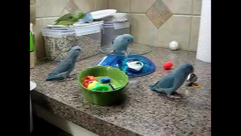 Parrotlets Playing with Toys » Freewka.com - Смотреть онлайн в хорощем качестве