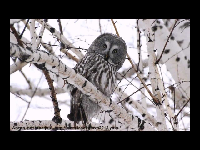 Голоса птиц-Бородатая неясыть (Strix nebulosa)