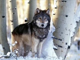 Kavkaz Lezginka (Kavkaz Wolves) Lezginka Music Dj Nariman Dream