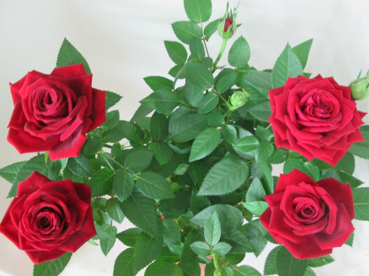 уход за комнатной розой в домашних условиях форум