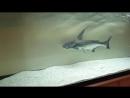 Pangasius sanitwongsei HD ( shark attack ) Lumix Fz45 n°1