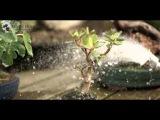 59) Jade Bonsai or Crasulla Ovata Bonsai - Tropical Bonsai Trees for Beginners